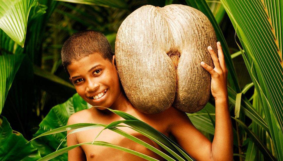 Сейшельский орех Коко-де-мер